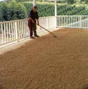 Drying Kona Coffee